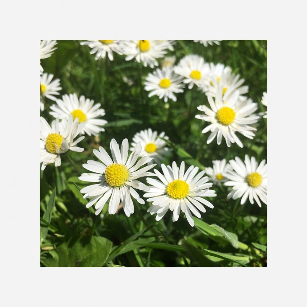 Flor de Camomila Recutita